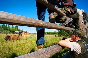 Staff of Bieszczady National park watching male European bison / Wisent (Bison bonasus) two year, in an accomodation enclosure in Bieszczady National Park shortly after its release, Bukowiec, Poland,...  -  Wild Wonders of Europe / Möllers