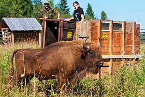 Male European bison / Wisent (Bison bonasus) two years, in an accomodation enclosure in shortly after its release, Bieszczady National Park, Bukowiec, Poland, September 2011, model released  -  Wild Wonders of Europe / Möllers