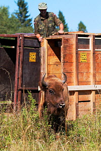 Female European bison / Wisent (Bison bonasus) two years, in an accomodation enclosure in shortly after its release, Bieszczady National Park, Bukowiec, Poland, September 2011, model released  -  Wild Wonders of Europe / Möllers