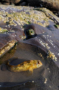 Shanny (Lipophrys pholis) in small rockpool on a falling tide, St. Bees, Cumbria, UK, July  -  Nick Upton
