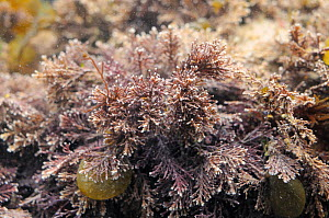 Coral weed (Corallina officinalis) growing in a rockpool, Crail, Fife, UK, July  -  Nick Upton