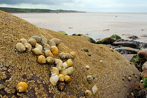 Dog whelks (Nucella lapillus) dense cluster on rocks encrusted with Common barnacles (Semibalanus balanoides) exposed at low tide, some with barnacles growing on their shells, with sand flats and the...  -  Nick Upton