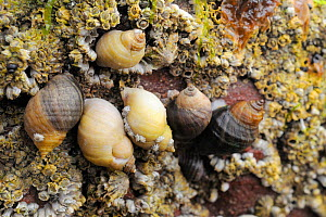 Dog whelks (Nucella lapillus) on rocks encrusted with Common barnacles (Semibalanus balanoides) exposed at low tide, some with barnacles growing on their shells, North Berwick, East Lothian, UK, July  -  Nick Upton