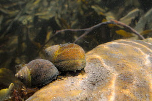 Two Common periwinkles (Littorina littorea) crawling over a boulder in a rockpool, Crail, Fife, Lothian, UK, July  -  Nick Upton