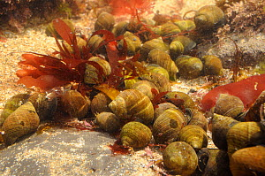 Dense aggregation of Common periwinkles (Littorina littorea) in a rockpool alongside a variety of red algae, Crail, Fife, UK, July  -  Nick Upton