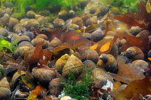 Dense aggregation of adult and young Common periwinkles (Littorina littorea) in a rockpool, North Berwick, East Lothian, UK, July.  -  Nick Upton