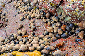 Dense gathering of adult and young Common periwinkles (Littorina liitorea) on red sandstone rocks exposed at low tide, North Berwick, East Lothian, July.  -  Nick Upton