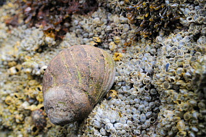 Adult Common periwinkle (Littorina liitorea) with well worn shell on rocks encrusted with Common barnacles (Semibalanus balanoides) exposed at low tide, Crail, Fife, July  -  Nick Upton