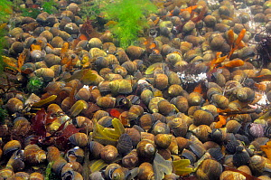 Dense aggregation of Common periwinkles (Littorina littorea) in a rockpool, North Berwick, East Lothian, UK, July  -  Nick Upton