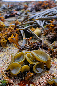 Young Sea thong (Himanthalia elongata) 'buttons' on intertidal rocks exposed at low tide, Crail, Fife, UK, July  -  Nick Upton
