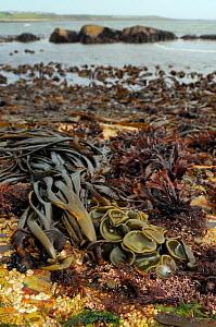 Sea thong (Himanthalia elongata) mature plants and young 'buttons' exposed at low tide alongside a variety of red algae, with kelp beds in the background, Crail, Fife, UK, July  -  Nick Upton