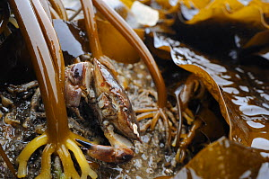 Edible crab (Cancer pagurus) well camouflaged among holdfasts of Cuvie / Forest kelp (Laminaria hyperborea), exposed on a low spring tide, North Berwick, East Lothian, UK, July.  -  Nick Upton