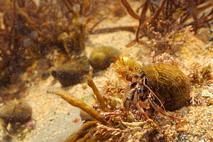 Common Hermit crab (Pagurus bernhardus) in a Common periwinkle shell crawling over floor of a rockpool, Crail, Fife, UK, July.  -  Nick Upton