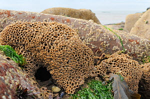 Honeycomb worm reef (Sabellaria alveolata) with clustered tubes built of sand grains attached to boulders, exposed at low tide with the barnacle encrusted boulders and the sea in the background, St.Be...  -  Nick Upton