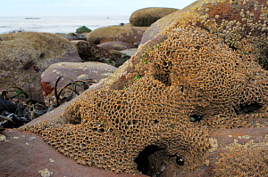 Honeycomb worm reef (Sabellaria alveolata) with clustered tubes built of sand grains attached to boulders, exposed at low tide with the sea in the background, St.Bees, Cumbria, UK, July.  -  Nick Upton