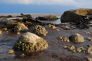 Common limpets (Patella vulgata) encrusted with Common barnacles (Balanus balanoides) attached to sandstone boulder low on shoreline, exposed at low tide, St. Bees, Cumbria, UK, July.  -  Nick Upton