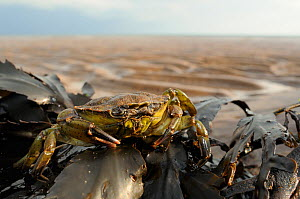 Common Shore crab (Carcinus maenas) on clump of Toothed wrack (Fucus serratus) exposed on shore at low tide, St. Bees, Cumbria, UK, July.  -  Nick Upton