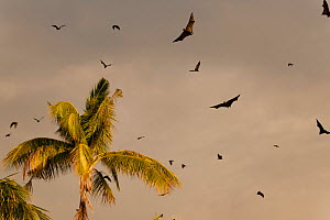 Spectacled flying foxes (Pteropus conspicillatus) flying out of the island where they roost during the day, North Queensland, Australia. February. - Jurgen Freund