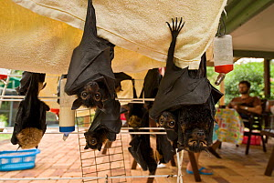 Spectacled flying foxes (Pteropus conspicillatus) orphans cared for in Tolga Bat Hospital, hanging on clothes dryer with liquid available, Atherton, North Queensland, Australia. December 2007. - Jurgen Freund