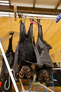 Spectacled flying foxes (Pteropus conspicillatus) orphans  in Tolga Bat Hospital, hanging on clothes dryer with liquid available, Atherton, North Queensland, Australia. December 2007. - Jurgen Freund