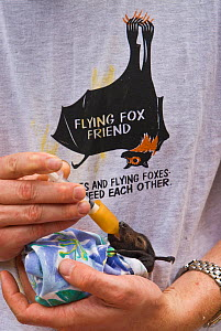 Spectacled flying fox (Pteropus conspicillatus) baby swaddled in cloth ready to sleep, being hand fed from syringe by volunteer wildlife carer wearing a Flying Fox Friend T-shirt, Tolga Bat Hospital,... - Jurgen Freund