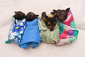 Spectacled flying fox (Pteropus conspicillatus) babies swaddled in cloth ready to sleep, Tolga Bat Hospital, Atherton, North Queensland, Australia. January 2008.  -  Jurgen Freund
