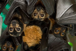 Spectacled flying foxes (Pteropus conspicillatus) inside enclosure, Tolga Bat Hospital, Atherton, North Queensland, Australia. January 2008. - Jurgen Freund