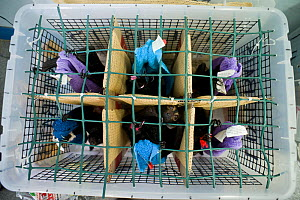 Spectacled flying fox (Pteropus conspicillatus) babies arrive by plane from Brisbane after months of care ready to be returned to the Tolga Bat Hospital for release back to the wild, Atherton, North Q... - Jurgen Freund