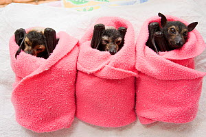 Spectacled flying fox (Pteropus conspicillatus) babies swaddled up in cloth ready to sleep, Tolga Bat Hospital, Atherton, North Queensland, Australia. January 2008.  -  Jurgen Freund