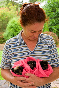 Spectacled flying fox (Pteropus conspicillatus) babies swaddled up in cloth ready to sleep, held by a voluntary wildlife carer, Tolga Bat Hospital, Atherton, North Queensland, Australia. January 2008. - Jurgen Freund