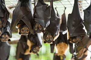 Spectacled flying foxes (Pteropus conspicillatus) hanging from roof of their enclosure, Tolga Bat Hospital, Atherton, North Queensland, Australia. January 2008. - Jurgen Freund