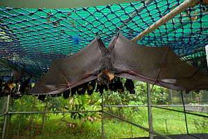 Spectacled flying foxes (Pteropus conspicillatus) hanging from roof of their enclosure, with one bat with wings outstretched, Tolga Bat Hospital, Atherton, North Queensland, Australia. January 2008. - Jurgen Freund