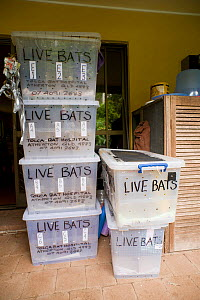 Crates for transporting Spectacled flying fox (Pteropus conspicillatus) babies by plane from Brisbane. Aafter months of care they are ready to be returned to the Tolga Bat Hospital for release back to... - Jurgen Freund