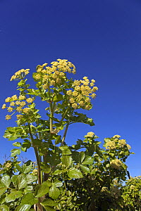 Alexanders (Smyrnium olusatrum) flowers in early spring with blue sky, Norfolk, UK, March.  -  Ernie Janes