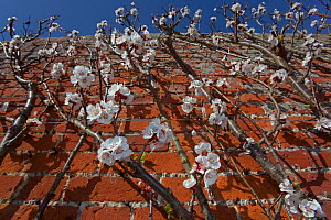 Apricot tree (Prunus ameniaca) Moorpark variety in blossom trained against a wall in walled garden, UK, March.  -  Ernie Janes