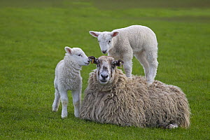 Domestic sheep (Ovis aries) lambs in meadow playing, with one standing on Ewe, Norfolk, UK, March. - Ernie Janes