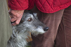 Portrait of Lurcher dog standing close to owner, UK, February. - Ernie Janes