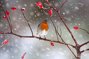Robin (Erithacus rubecula) perched on rosehip branch during snowfall. UK, December. - Ernie Janes