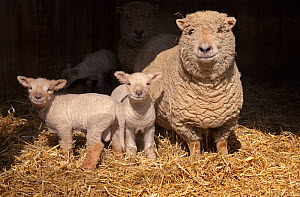 RF- Domestic sheep, ewe and lambs in pen, UK. (This image may be licensed either as rights managed or royalty free.) - Ernie  Janes