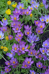 Spring Crocus and Winter Aconites in Garden Setting Norfolk March  -  Ernie Janes
