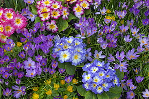 Spring Crocus Aconites Polyanthus and snowdrops in Garden Setting Norfolk March  -  Ernie Janes