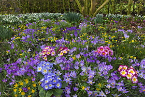 Spring Crocus Aconites Polyanthus and snowdrops flowering in Garden Setting Norfolk, February  -  Ernie Janes