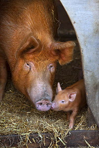 Domestic pig (Sus scrofa domestica) Tamworth sow and piglet, UK - Ernie Janes