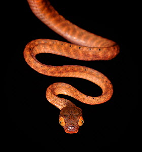 Black headed cat eye snake (Boiga nigriceps) captive, from SE Asia  -  Michael D. Kern
