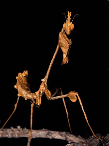 Indian rose / Wandering violin mantis (Gongylus gongylodes) portrait, captive, from S Indian and Sri Lanka  -  Michael D. Kern
