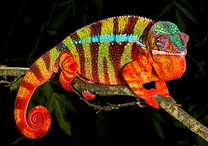 Panther chameleon (Furcifer pardalis) striped red, green and brown, on branch, captive, from Madagascar  -  Michael D. Kern