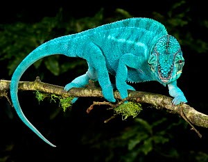 Panther chameleon (Furcifer pardalis) coloured blue, walking along branch, captive, from Madagascar  -  Michael D. Kern