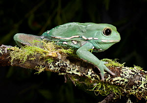 Waxy monkey tree frog (Phyllomedusa sauvagii) captive, from Central and South America - Michael D. Kern