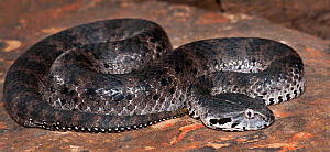 Smooth-scaled death adder (Acanthophis laevis) captive, from Indonesia and PNG  -  Michael D. Kern