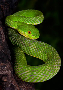 Green / White-lipped tree viper (Cryptelytrops / Trimeresurus albolabris), captive, from SE Asia - Michael D. Kern